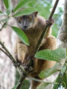 Lémurien endémique de Mayotte