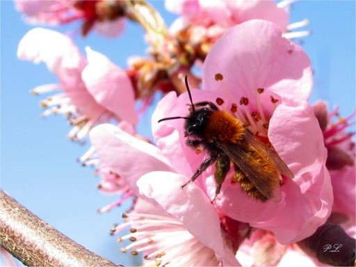 L'abeille solitaire sur une fleur de pêcher  (P.L. 2004)